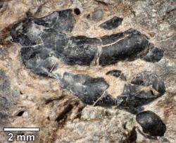 Detailní snímek zobrazující části exoskeletu pravděpodobného suchozemského korýše v koprolitu kachnozobého dinosaura. Tito pozdně křídoví členovci byli zřejmě dinosaury záměrně polykáni spolu s tlející dřevní hmotou, kterou obývali. Kredit: University of Colorado, Boulder (Colorado). Převzato Everythink Dinosaur.