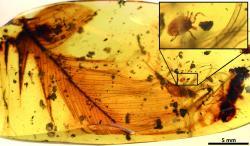 Nasáté klíště se dinosauřího peří drží už sto milionů let. Kredit:  Peñalver et al.: Ticks parasitised feathered dinosaurs as revealed by Cretaceous amber assemblages. Nature Communications,Open access.