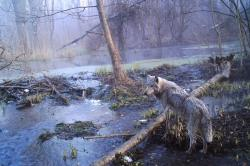 Vlků žije vČernobylu tolik, jako nikde jinde široko daleko. Kredit: Sergey Gashchak.