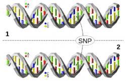 Jednonukleotidový polymorfismus,SNP(z anglickéhoSingle Nucleotide Polymorphism),  (Kredit:David Eccles, Wikipedia)