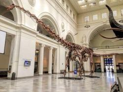 Dokonce i tak obří titanosauři, jako byl přes 37 metrů dlouhý a kolem 70 tun vážící Patagotitan mayorum (v expozici Field Museum of Natural History v Chicagu) by byli takřka drobečci ve srovnání s indickým bruhathkayosaurem. Pokud ovšem jeho fosilie skutečně představovaly kosterní elementy, za něž byly označeny. A to už se bohužel možná nikdy nedozvíme. Kredit: Zissoudisctrucker; Wikipedie (CC BY-SA 4.0)