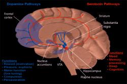 """Nucleus accumbens, centrum potěšení a závislosti, si propojením s oblastí striatum a  frontálním lalokem, """"svou vůli"""" dokáže prosadit. (Kredit: NIH)"""