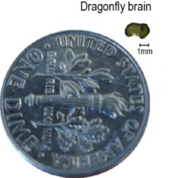 Výmluvná ukázka velikosti hmyzího mozku. (Kredit: Steven Wiederman)