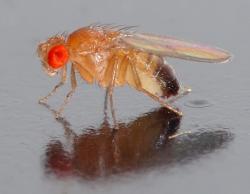 Octomilka obecná (Drosophila melanogaster) se hojně využívá v genetických výzkumech a patří ke klíčovým modelovým organizmům vývojové biologie. Celý rod zahrnuje jeden a půl tisíce druhů lišících se vzhledem, chováním a způsobem rozmnožování. Jsou 2 - 4 mm dlouhé.