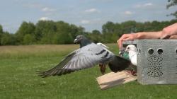 Flexiibilní hierarchie v hejnu umožňuje holubům správnou navigaci,  neschopným šéfům navzdory.Foto:Zsuzsa Ákos