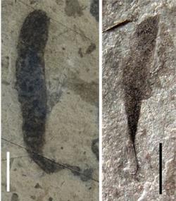 Dvě z fosilií, které by mohly být prvními mnohobuněčnými organismy na Zemi. Velikost úsečky je 0,5 cm. Další fotografie fosílií zveřejnili autoři v květnovém čísle Nature Communications – zde. http://www.nature.com/ncomms/2016/160506/ncomms11500/fig_tab/ncomms11500_F3.html