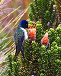 Živý drahokam vysokohorských And. Snímek je z ekvádorské chráněné rezervace Cayambe-Coca. Kredit: Joseph C Boone, Wikipedia.