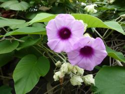 Havajská růže (Argyreia nervosa). Kredit: Loi Miao, CC 0.