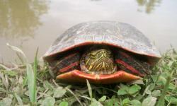 Želva ozdobná (mezi lidem známá spíš jako želva malovaná). Je nejrozšířenější želvou Severní Ameriky. Červený pigment, stejně jako u ptáků, jí slouží jak k lepšímu barevnému vidění, tak k vnější signalizaci, jak na tom po stránce metabolismu její organismus je. (Kredit: Nicole Valenzuela)
