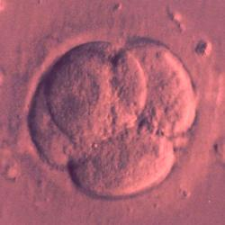 Embryo. Kredit: CC0 Public Domain.