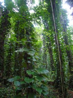 """Epipremnum aureum jako """"ďáblův břečťan"""" v Centrálním národním parku na Sri Lance."""