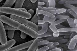�iv� Escherichie coli (vlevo) spolu s laktobacily byly hlavn�mi hr��i v pod�van�m probiotiku. Prosp�ly k rozvoji dal��ch st�evn�ch bakteri�.