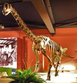 Rekonstruovaná kostra dospělého europasaura. Na poměry současné přírody se jednalo o velké suchozemské zvíře, dosahující hmotnosti nosorožce. Na poměry sauropodních dinosaurů šlo ale o pouhého trpaslíka, který vážil přibližně 30 až 60krát méně, než jeho obří příbuzní z čeledi Brachiosauridae. Přesto by dnes při délce přes 6 metrů patřil k nejdelším suchozemským obratlovcům. Kredit: Ghedoghedo; Wikipedie (CC BY-SA 3.0)