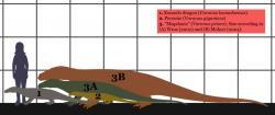 Velikostní porovnání megalanie a některých dnešních varanů. Nejvyšší odhady kladou pravěkému ještěrovi délku až kolem 8 metrů a hmotnost blížící se dvěma tunám. Pravděpodobnější rozměry činí na základě dosud objevených fosilií poněkud méně – délku mezi 5 a 6 metry a hmotnost lehce nad půl tuny. I tak se ovšem s přehledem jedná o největšího známého suchozemského ještěra. Kredit: Conty; Wikipedie (CC BY 3.0)