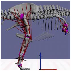 Ukázka jak s veličinami model pracoval. Hlavní svaly jsou vyznačeny červeně, klouby modře. Šipky představují jeden metr. Kredit: Sellers 2017, Univ. Menchester