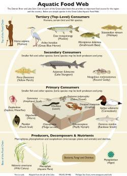 Ve vodních ekosystémech, jako například ve Velkých jezerech, tvoří mikroskopické řasy základ potravních řetězců.(Kredit: Michigan Sea Grant)