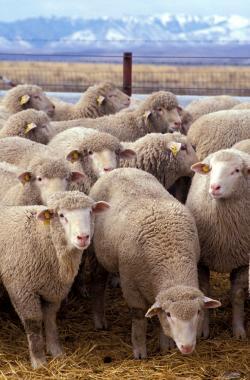 """Ovce alfa beranům postojí, ale ve styku a intimnostech upřednostňují nedominantní samce """"outsidery"""". Foto: Keith Weller, USDA, volné dílo."""