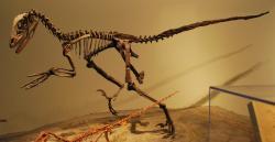 Deinonychus antirrhopus byl prvním teropodem, který již v 60. letech minulého století posloužil k velkému posunu v chápání dinosaurů – tzv. dinosauří renesanci. Tento živočich skutečně nebyl studenokrevným a pomalým plazem s nízkým stupněm metabolické aktivity. Kredit: AStrangerintheAlps, Wikipedie (CC BY-SA 3.0)