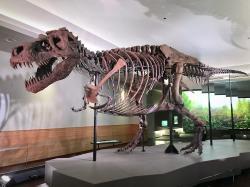 """Jeden z největších známých exemplářů tyranosaura, """"Sue"""" z Field Museum of Natural History v Chicagu. Tento dle odhadů asi 8,4 tuny vážící jedinec, objevený v roce 1990 na území Jižní Dakoty, zahynul zhruba před 67 miliony let. Příčina smrti zůstává neznámá, podle některých paleontologů ale mohla být na vině parazitární infekce, způsobená prvokem, vzdáleně příbuzným dnešní bičence drůbeží. Kredit: Zissoudisctrucker; Wikipedie (CC BY-SA 4.0)"""