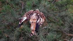 Mladého otráveného luňáka našli ornitologové vkoruně borovice. Foto: Dušan Rak, ČSO