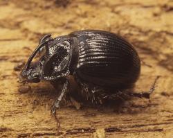 Na Josefovských loukách žije i chrobák ozbrojený – brouk nápadný štíhlým dlouhým rohem na čele a několika malými růžky na štítě. Samička rohy nemá. Foto: Tomáš Kopecký