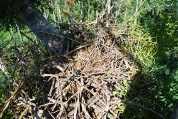 Jeden zhnízdních párů orlů královských vroce 2018 postavil hnízdo s pouhýmnáznakem hnízdní kotlinky, ale samice ztohoto páru vejce nesnesla. Foto: Hynek Matušík
