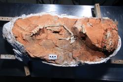 Fosilie vývojově primitivního sauropodomorfa druhu Buriolestes schultzi, popsaného roku 2016 ze sedimentů brazilského souvrství Santa Maria. Spolu s několika dalšími dinosaury, popsanými z tohoto geologického souvrství, představuje buriolestes zatím nejstaršího zástupce skupiny Dinosauria, známého podle kosterních fosilií. Jeho stáří činí zhruba 233,2 milionu let. Kredit: ULBRA Canoas; Wikipedie (volné dílo)