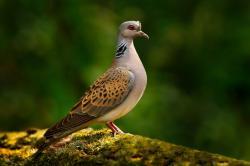 Udělením titulu hrdličce divoké chce Česká společnost ornitologická upozornit na ubývání vhodného životního prostředí vlivem intenzivního hospodaření. Na 1. května ornitologové vyzývají kvycházkám za hrdliččiným zpěvem, o kterém básnil už Karel Hynek Mácha.