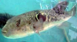 Fugu (Takifugu rubripes). Jed tetrodotoxin pro ní vytváří bakteriePseudomonasa Vibrio fischeri, kterými si nechává kolonizovat svou trávicí soustavu. Jedna ryba má dost jedu na usmrcení třiceti osob. Kredit: Chris 73/Wikimedia Commons