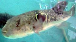 """Fugu,japonsky""""říční prase"""". Jeden z asi 25 zástupců rodučtverzubců. Tetrodotoxin se rybám koncentruje v játrech. Nepatrné množství je ale i v mase a právě to dává pokrmům zvláštní chuť oceňovanou labužníky. (Kredit: Chris 73/Wikimedia Commons, licence CC BY-SA 3.0)"""