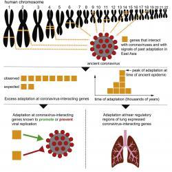 Na grafickém abstraktu jsou žlutě vytečkované trasy k chromozomům, na nichž jsou geny interagující s koronaviry a nebo geny signalizující pradávnou lidskou adaptaci. Žluté čtverečky (na obrázku vlevo uprostřed) ukazují na rozpor mezi počtem pozorovaných a očekávaných interagujících genů. Tento nepoměr svědčí o kdysi silném selekčním tlaku. Obrázek vlevo dole má znázorňovat, že změny v genomu jsou jak v genech umožňujících virům nás napadnout, tak i v genech bránících virům v jejich replikaci. Kredit: Yassine Souilmi, et al.: Current Biology, 2021.
