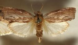 Zavíječ voskový(Galleria mellonella). Larvy tohoto škůdcevčelích úlů zvládnou strávit i včelí vosk. Kredit: Sarefo, Wikipedia