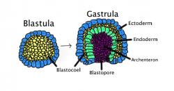 Rané embryo je dutá koule tvořená méně než stovkou buněk. Gastrula vzniká, když se blastula, složená z jedné vrstvy zvětší a  vchlípí se dovnitř. Na obrázku jsou barevně odlišeny: ektoderm (modrý);endoderm (zelená);blastocoel (žloutkový váček - žlutý);a archenteron (střevo – fialová). Kredit: Volné dílo.
