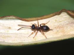 Hyperparazitoid - osička Gelis agilis. (Kredit: M. Malčická)