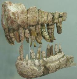 Fosilie přední části čelistí ceratosaurida druhu Genyodectes serus (exemplář ve sbírkách Přírodovědeckého muzea v La Plata). Na základě této zkameněliny byl středně velký teropod ze souvrství Cerro Barcino v roce 1901 formálně popsán. Kredit: Patricia Curcio; Wikipedia (CC BY-SA 3.0)