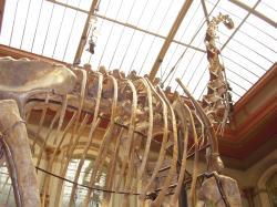 Jak výkonné a velké muselo být srdce, které pumpovalo krev do hlavy, nacházející se o osm metrů výš? Měli tito obří brachiosauridi skutečně přídatná srdce ve svém dlouhém krku? Zatím to s jistotou nevíme.Vlastní snímek autora.