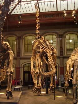 Kostra druhu G. brancai v berlínském Přírodovědeckém muzeu, pohled zezadu. V roce 2007 byla tato kompozitní replika přesně změřena a s výškou 13,27 metru zapsána do Guinessovy knihy rekordů jako nejvyší smontovaná dinosauří kostra na světě. Vlastní snímek autora.