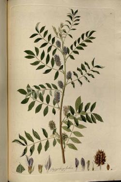Rostlinu Glycyrrhiza foetida čínská medicína zná. Bohužel tato lékořice nepříjemně páchne.  (Kredit: Universitätsbibliothek Wien, Vienna, Austria)