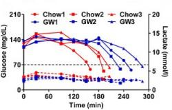 """Horní část grafu (plná čára) ukazuje koncentraci glukózy v krvi. Modře jsou vyznačeny hodnoty běžců dopovaných přípravkem GW. Červeným atletům, energie potřebná pro bezproblémovou činnost mozku, se dostala na kritickou hodnotu """"nárazu do zdi"""" významně dříve. Spodní část grafu ukazuje naměřené hodnoty kyseliny mléčné. V té se obě skupiny prakticky nelišily.  (Kredit: Weiwei Fan, Gene Expression Laboratory, Salk Institute for Biological Studies)"""