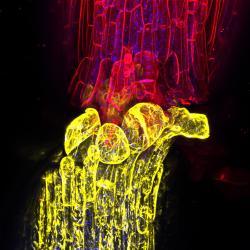 Po naroubování rostlin dvou různých genotypů spolu tkáně komunikují a prostřednictvím plazmatické membrány. Při tomto nepřirozeném a násilném spojení, jedna rostlina prostřednictvím sRNA molekul upravuje DNA tomu druhému z partnerů a metylací zásadně mění funkci jeho genů. (Autor fota z konfokálního mikroskopu: Charles Melnyk/University of Cambridge)