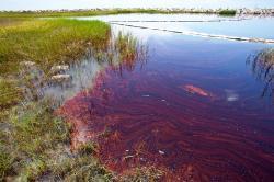Znečištěné prostředí vzátoce Barataria, Louisiana. Kredit: A. Whitehead.