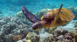 Dnešní obrněneci, jako tato kareta žijí v moři. Paradoxně ale za svou dokonalou ochranu vděčí extrémnímu suchu. (Kredit: Brocken Inaglory, Wikipedia, CC BY-SA 3.0)
