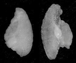 """Rybí sluchové """"kůstky"""". Vlevo normální, vpravo s deformacemi. Foto: Tormey Reimer (UM)"""