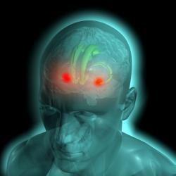 Červeně amygdala, světlezeleně hipokampus. Kredit: IMP-IMBA Graphics Department.