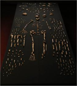 Fosilie Homo naledi. Kredit: Lee Roger Berger research team.