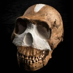 Homo naledi. Kredit: Wits University.