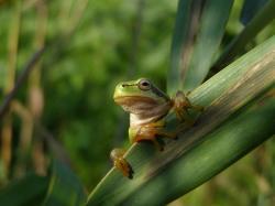 Mezi druhy žab, jejichž předkové se začali vyvíjet krátce po katastrofě K-Pg, patří i jediný český zástupce čeledi rosničkovitých, roztomilá rosnička zelená (Hyla arborea). Kredit: A. D. Mihalca, Wikipedie (CC BY-SA 3.0)