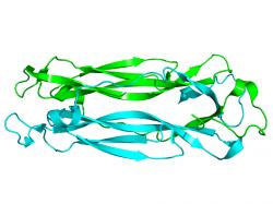 Interleukin 17 � protein podporuj�c� z�n�t a pror�st�n� tk�n� hustou s�t� krevn�ch vl�se�nic. (Kredit: Wikipedia, voln� d�lo)