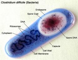Clostridium difficile, blízká příbuzná tetanu a botulismu. V přítomnosti kyslíku začne vytvářet spory, ty po požití projdou žaludkem a ve střevech dají vznik plnohodnotné formě klostrídií schopné vyvolat kolitidu.  (trilobiteglassworks)