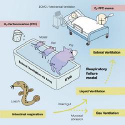 """Schéma pokusu. Dolní část obrázku ukazuje, že ať už si vzali vědci do parády myši, potkany nebo prasata, tak se je metodou střevního dýchání podařilo uchránit  před smrtelnou hypoxií. V horní části je znázorněn lidský pacient a způsob, jak by se léčebná dávka """"kyslíku"""" pomocí umělohmotného balónku měla aplikovat. Kredit: Ryo Okabe, et al., 2021. Takebe Research Lab."""